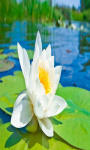 Water Lilies Live Wallpaper Free screenshot 3/4