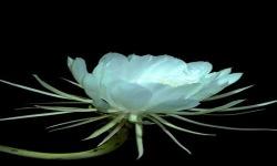 White Lotus Live Wallpaper screenshot 2/3