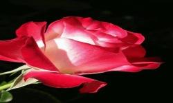 Roses Lwp2 screenshot 2/3