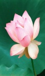 Lotus Shine Live Wallpaper screenshot 1/3