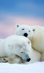 Alaska Two White Bears Live Wallpaper screenshot 1/4