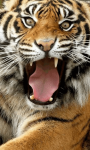 Sumatran Tiger Background screenshot 1/6