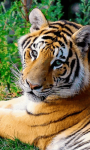 Sumatran Tiger Background screenshot 2/6