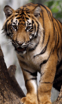 Sumatran Tiger Background screenshot 3/6