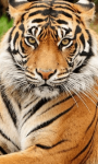 Sumatran Tiger Background screenshot 4/6