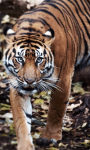 Sumatran Tiger Background screenshot 5/6