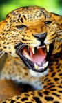 Angry Leopard Live Wallpaper screenshot 1/3