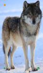 Wolf HD Wallpapers screenshot 1/5
