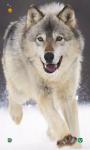 Wolf HD Wallpapers screenshot 2/5