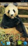 Panda chews Live Wallpaper screenshot 1/3