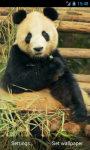 Panda chews Live Wallpaper screenshot 2/3