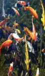 Koi Fish Touch Live Wallpaper Free screenshot 2/3