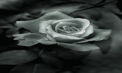 Black Rose LWP screenshot 2/3