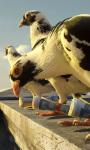 Pigeons Live Wallpaper screenshot 1/3