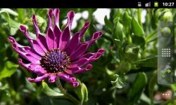 African Daisies - Live Wallpaper screenshot 2/4
