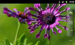 African Daisies - Live Wallpaper screenshot 4/4