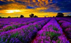 lavender flower fields wallpapers screenshot 1/1