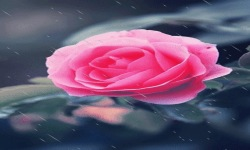 Pink Rose Beauty Live Wallpaper screenshot 2/3