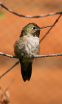 Humming Bird live wallpaper screenshot 3/3
