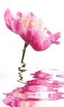 Pink Shine Flower LWP screenshot 3/3
