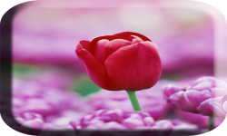 Pink flower wallpaper images screenshot 3/4