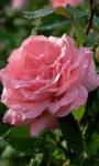 Pink Dewy Rose Live Wallpaper screenshot 1/3