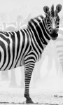 Zebra Wallpapers app screenshot 1/1