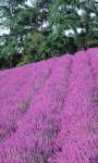 Lavender HD Wallpaper - Mindblowing screenshot 4/4