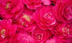 Galaxy S5  Pink Wallpaper screenshot 2/3