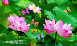 lotus flowers and butterflies afraid screenshot 1/2