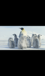 AMAZING PINGUIN IN ANTARCTICA HD WALLPAPER screenshot 2/6