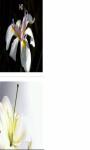 White lily close up Wallpaper HD screenshot 3/3