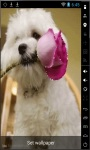 Bichon Puppy Live Wallpaper screenshot 1/2