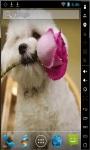 Bichon Puppy Live Wallpaper screenshot 2/2