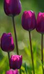 Purple Tulips Live Wallpaper screenshot 1/3